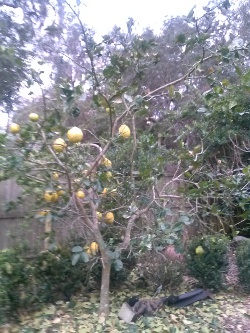 Ponderosa Lemon tree defoliated from frost damage